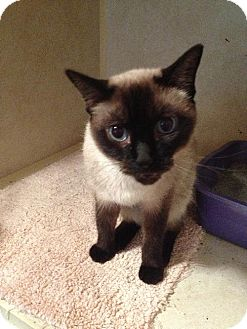 Siamese Cat for adoption in Arlington/Ft Worth, Texas - Janie