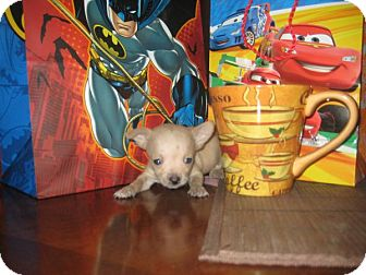 Chihuahua Puppy for adoption in Kingwood, Texas - Teacup Sisters