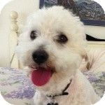 Bichon Frise Mix Dog for adoption in La Costa, California - Ricky