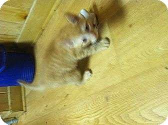 Domestic Shorthair Kitten for adoption in Clay, New York - Kitten's