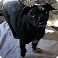 Adopt A Pet :: Pug X - Aloha, OR