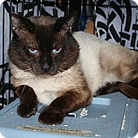 Adopt A Pet :: FIV Siamese - Santa Rosa, CA