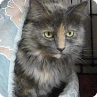 Domestic Shorthair Cat for adoption in Westville, Indiana - Molly