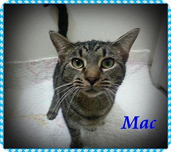 Domestic Mediumhair Cat for adoption in Orange City, Florida - Mac