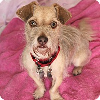 Dachshund/Sealyham Terrier Mix Dog for adoption in LA, OC, SD, California - Fern loves kids & dogs VIDEOS!
