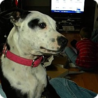 Jack Russell Terrier Mix Dog for adoption in Clarksville, Tennessee - Roxy - URGENT!!!