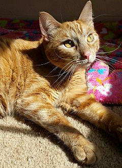 Domestic Shorthair Cat for adoption in Wichita Falls, Texas - Butterscotch