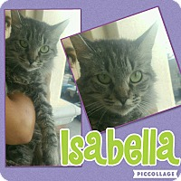 Domestic Mediumhair Cat for adoption in Scottsdale, Arizona - Isabella