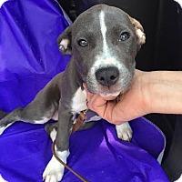 Adopt A Pet :: Charlotte-Pending! - Detroit, MI