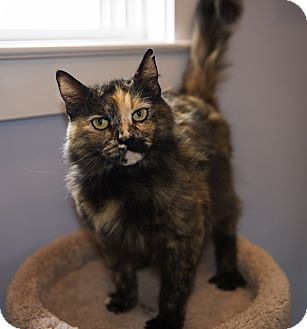 Domestic Longhair Cat for adoption in Mooresville, North Carolina - A..  Anastasia