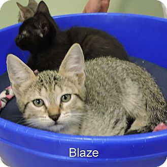 Domestic Shorthair Kitten for adoption in Slidell, Louisiana - Blaze