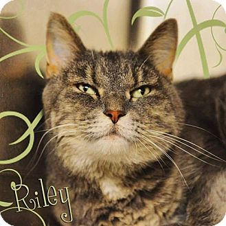 Domestic Mediumhair Cat for adoption in Hanna City, Illinois - Riley