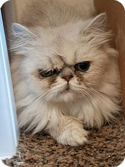 Persian Cat for adoption in Philadelphia, Pennsylvania - Prince William *ADOPTION PENDING*