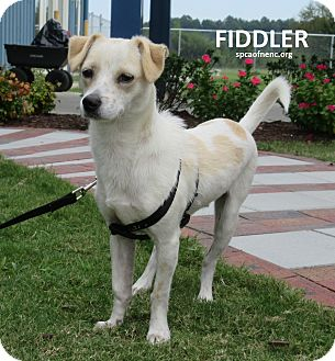 Terrier (Unknown Type, Small) Mix Dog for adoption in Elizabeth City, North Carolina - Fiddler