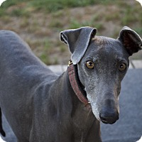 Greyhound Dog for adoption in Indianapolis, Indiana - Cuma