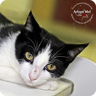 Domestic Shorthair Cat for adoption in Lyons, New York - Moe