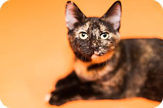 Domestic Shorthair Cat for adoption in Cincinnati, Ohio - Kendall- WAIVED FEE