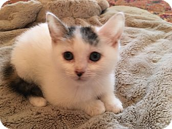 Calico Kitten for adoption in Burbank, California - Anna LOVING SIBLING PAIR!