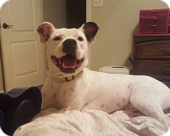 American Pit Bull Terrier Mix Dog for adoption in Arlington, Massachusetts - Pablo