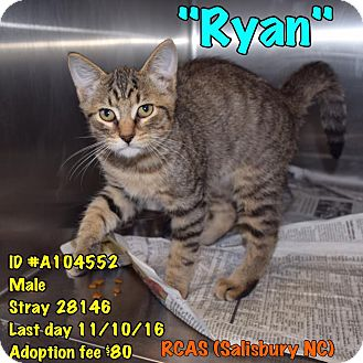 Domestic Shorthair Kitten for adoption in Salisbury, North Carolina - Ryan