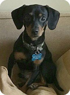 Dachshund/Chihuahua Mix Dog for adoption in Barium Springs, North Carolina - ARNIE