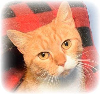Domestic Shorthair Cat for adoption in Media, Pennsylvania - Diane (No adoption fee)