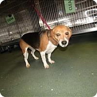 Adopt A Pet :: Pebbles - Raleigh, NC