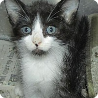 Adopt A Pet :: Cat IS01 - Rocky Mount, NC