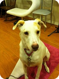 Labrador Retriever/Greyhound Mix Dog for adoption in Phoenix, Arizona - REX