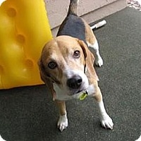 Adopt A Pet :: Bailey Jo - Phoenix, AZ