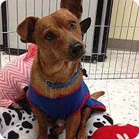 Adopt A Pet :: Shilo - Studio City, CA