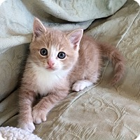 Adopt A Pet :: Buff tan & white male kitten - Manasquan, NJ