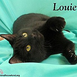 Photo 2 - Domestic Shorthair Cat for adoption in St Louis, Missouri - Ms. Louie