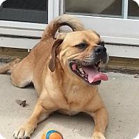 Pug/Beagle Mix Dog for adoption in Cedar Rapids, Iowa - Tobie