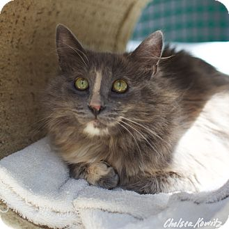 Domestic Mediumhair Cat for adoption in Los Angeles, California - Ludwika