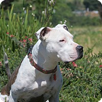 Adopt A Pet :: Shasta-ADOPTION FEE SPONSORED! - Lincoln, CA