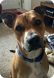 American Pit Bull Terrier/Shepherd (Unknown Type) Mix Dog for adoption in St. Charles, Missouri - Ruger