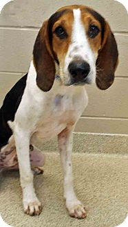 Coonhound Mix Dog for adoption in Shorewood, Illinois - Rob