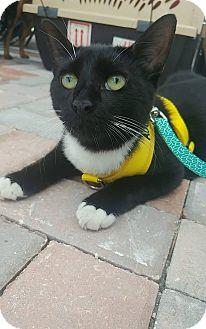 Domestic Mediumhair Cat for adoption in Davie, Florida - Phillip