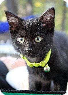 Domestic Shorthair Kitten for adoption in Fort Leavenworth, Kansas - Soot-adoption pending