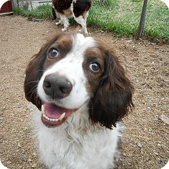 Springer Spaniel Mix Dog for adoption in Palmyra, Nebraska - Jagger