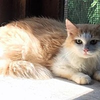 Adopt A Pet :: Genevieve - Barn Cat - Trexlertown, PA