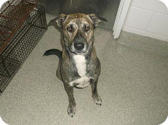 Shepherd (Unknown Type) Mix Dog for adoption in Gloucester, Virginia - BERTRAM