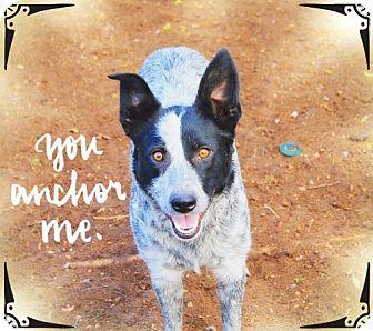 Australian Cattle Dog/Border Collie Mix Dog for adoption in Chandler, Arizona - DAVEY CROCKETT