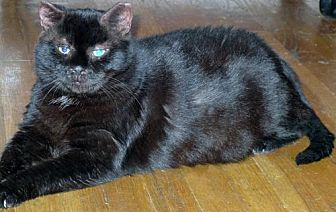 Bombay Cat for adoption in Brooklyn, New York - Bear: Big Shy Boy