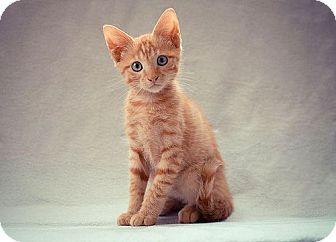Domestic Shorthair Kitten for adoption in Arlington, Virginia - Saturn-