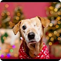 Adopt A Pet :: ~Darcy~ - Greenwood, LA