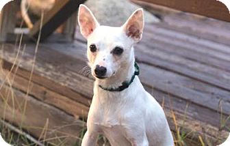 Chihuahua/Terrier (Unknown Type, Small) Mix Dog for adoption in Colorado Springs, Colorado - Billy