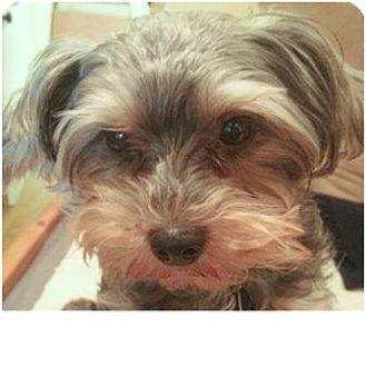 Bentley | Adopted Dog | petaluma, CA | Yorkie, Yorkshire ...