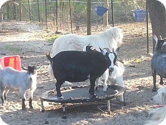 Goat for adoption in Citrus Springs, Florida - Princess